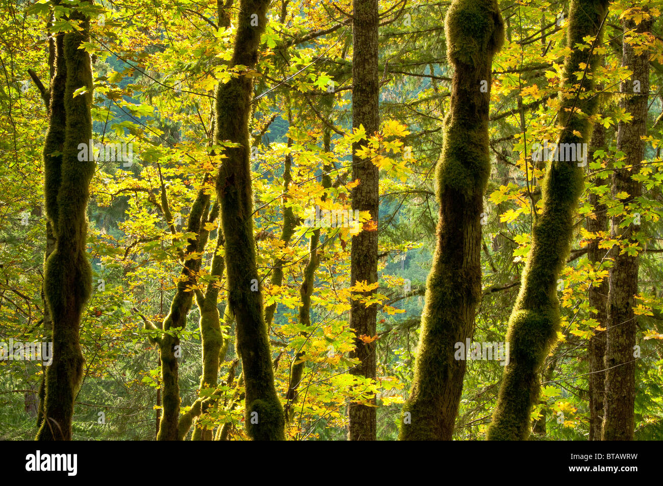 Bigleaf maple trees along Cascade River Road, Mount Baker-Snoqualmie National Forest, North Cascades, Washington. - Stock Image