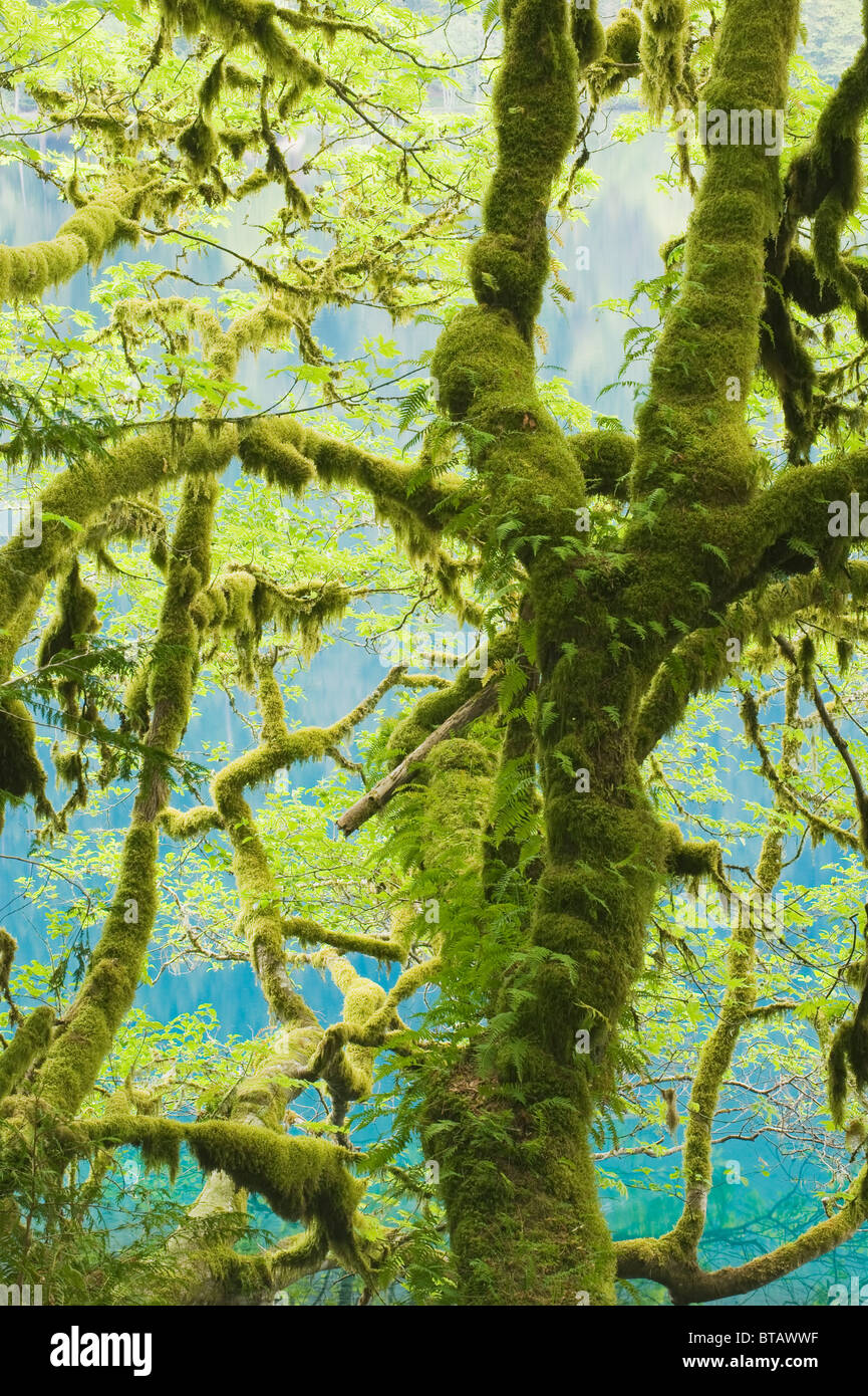 Bigleaf Maple (Acer macrophyllum) Covered with moss and ferns, Lake Crescent, Olympic National Park, Washington - Stock Image