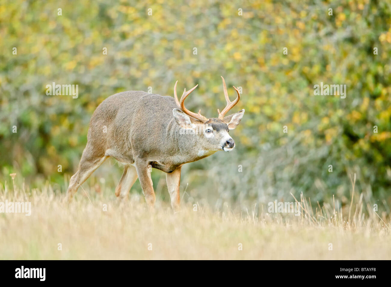 A blacktail deer buck is approaching a female during the breeding season in autumn. - Stock Image