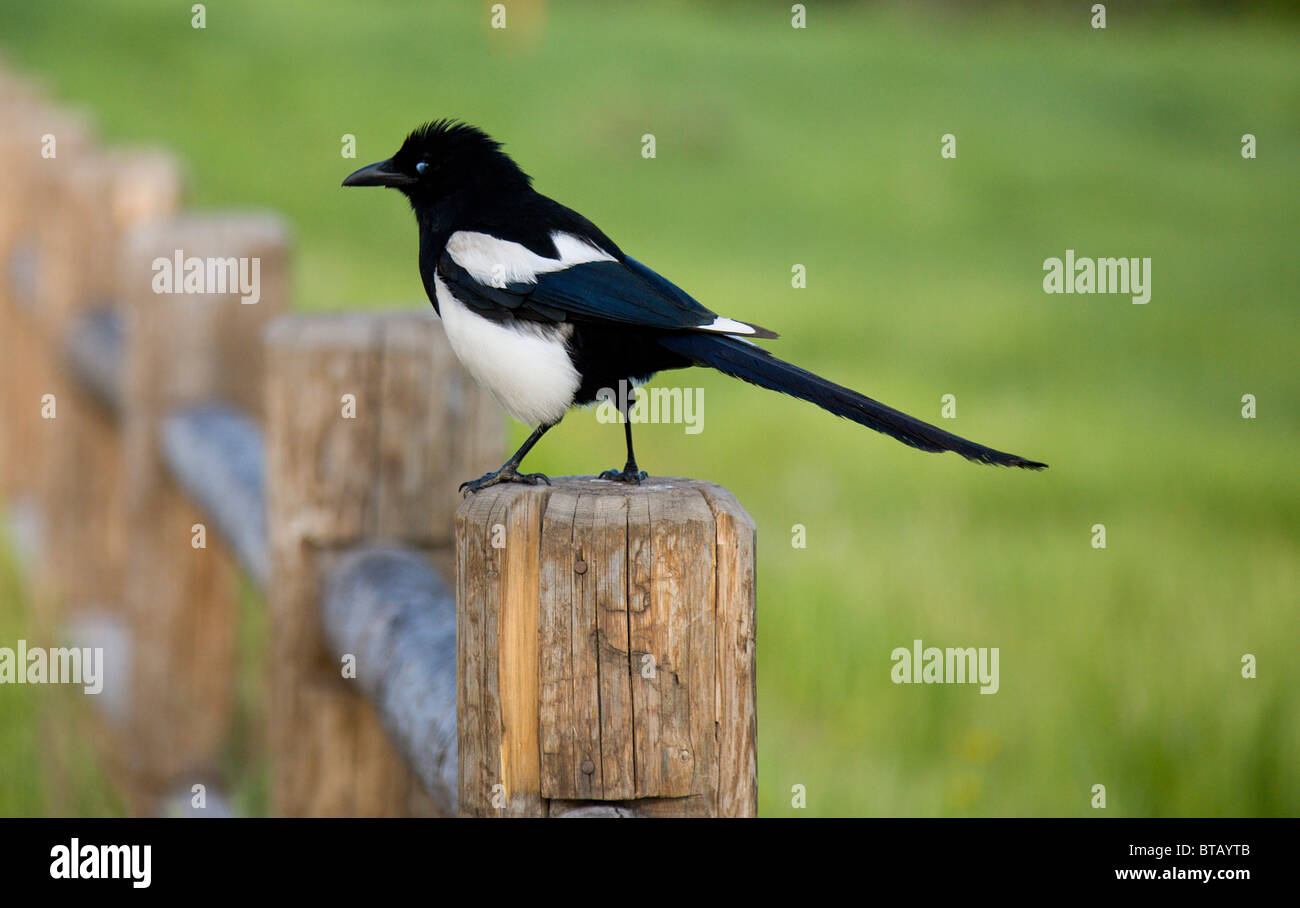 Magpie bird sitting on a fence post in the early morning light - Stock Image