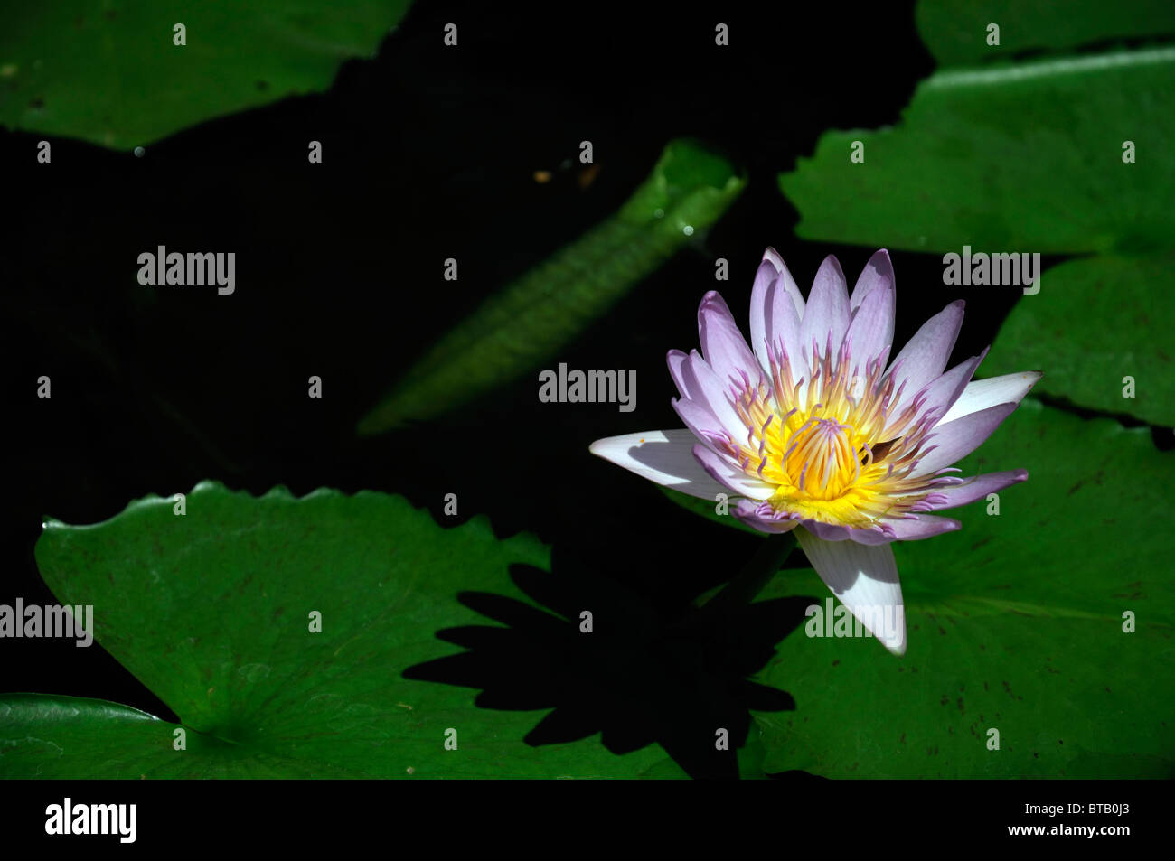 Water Lily Flower Stock Photos Water Lily Flower Stock Images Alamy