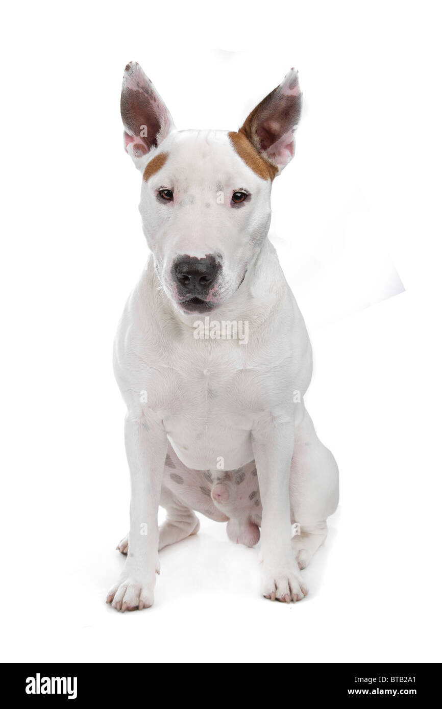 bull terrier - Stock Image
