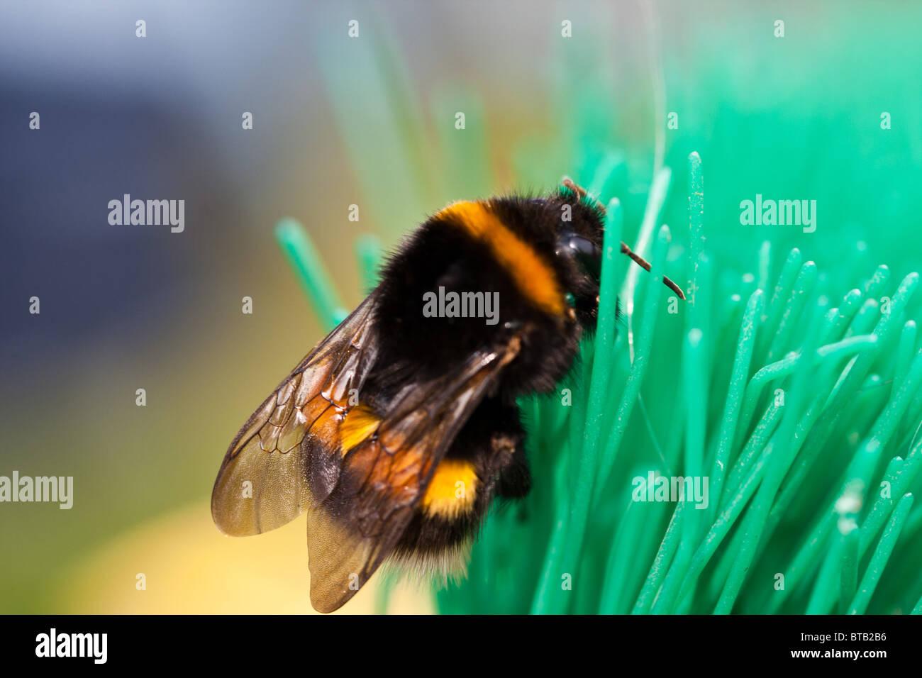 a bee, macro - Stock Image