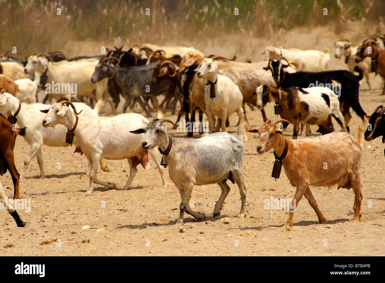 Goat herd on Ios, Cyclades Islands, Greece - Stock Image