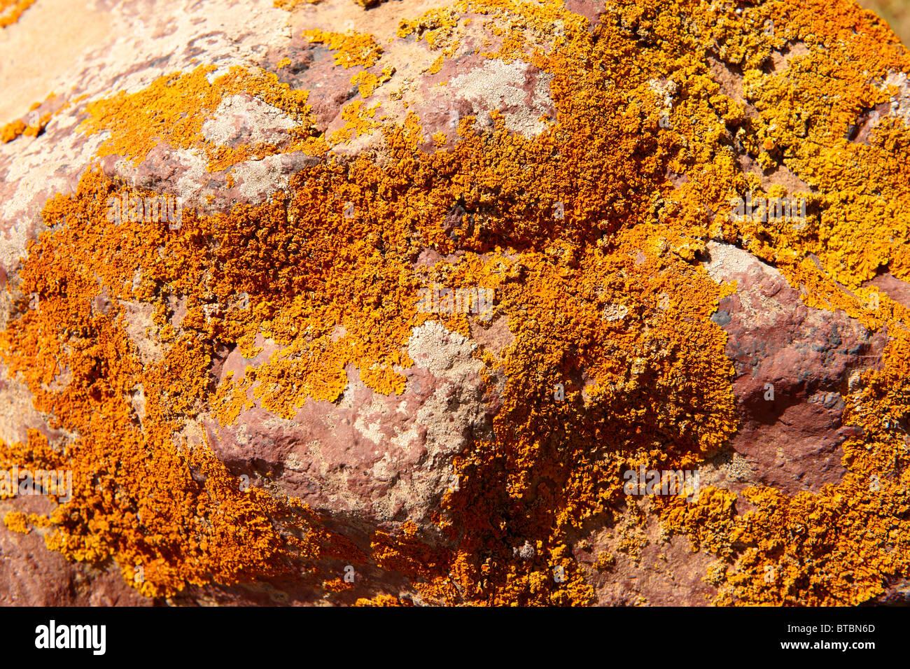 Orange lichen on a rock surface - Stock Image