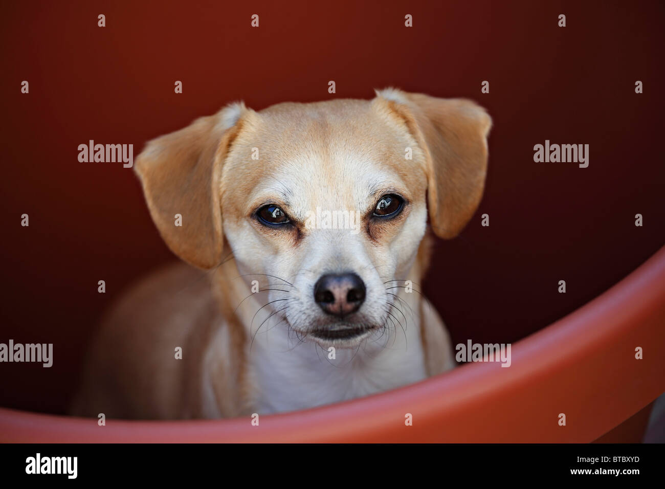 Chihuauha Terrier Mix Dog in Large Flowerpot - Stock Image