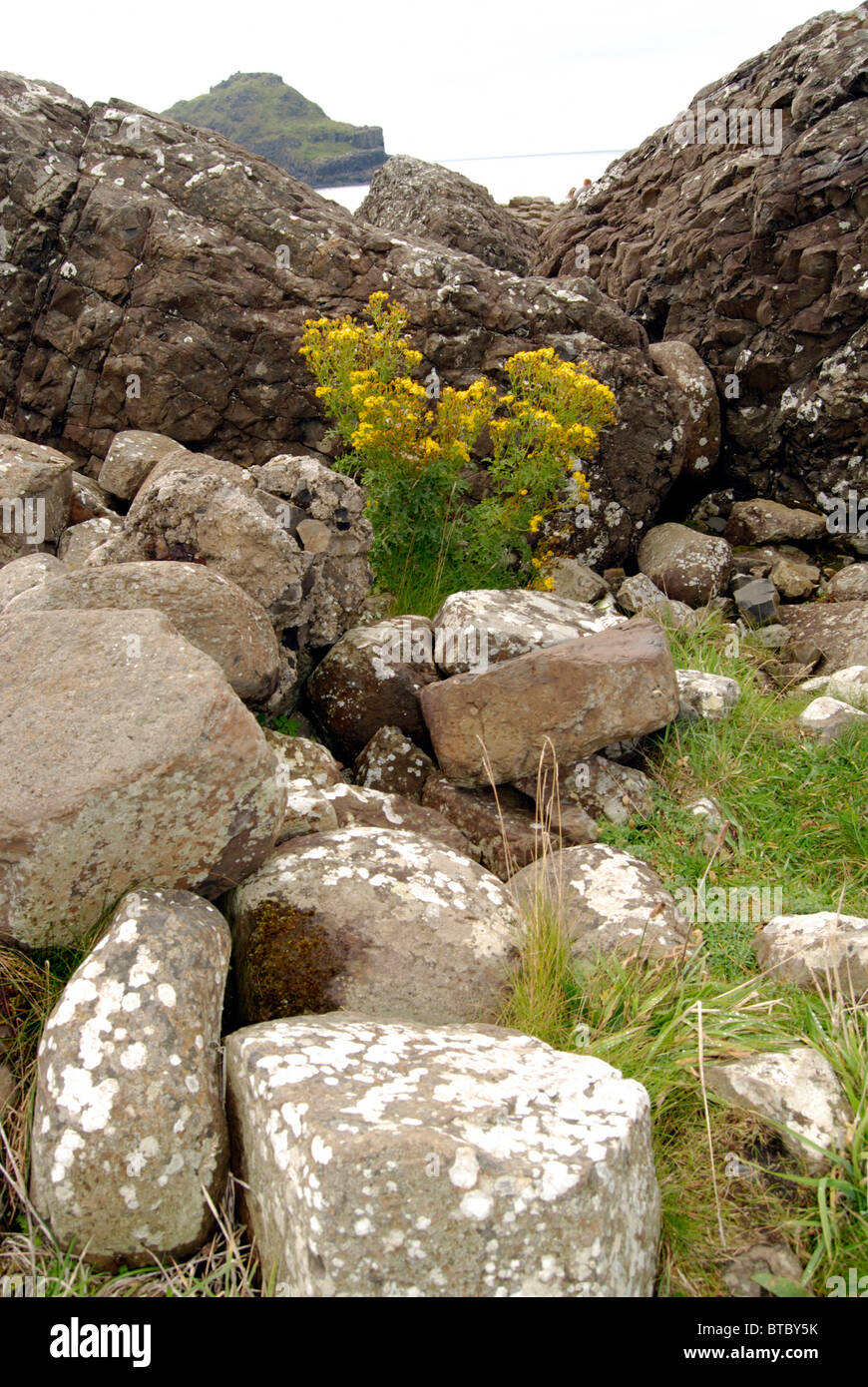 Wild yellow flowers at the Giants Causeway, County Antrim, Northern Ireland - Stock Image