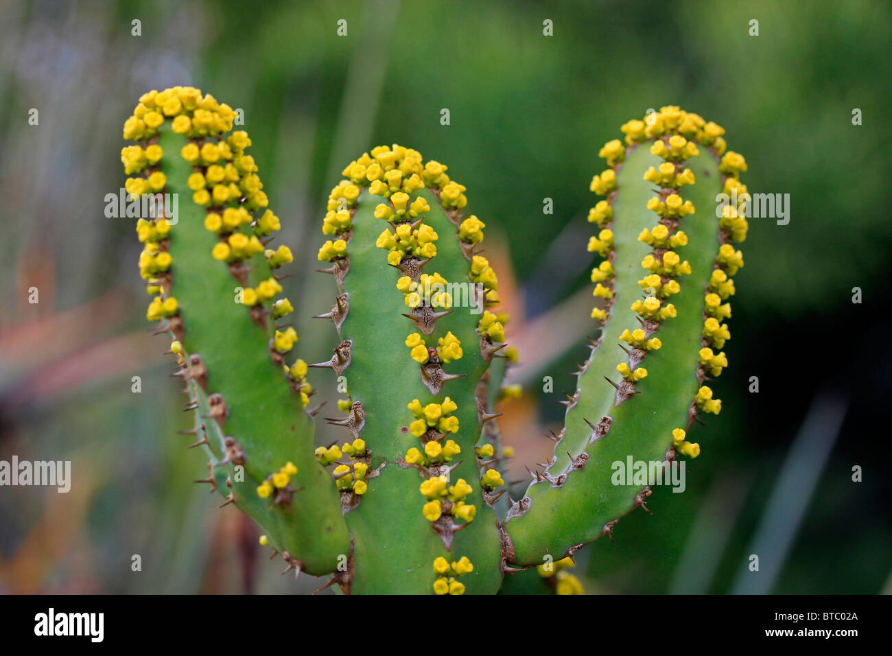 Poisonous cactus stock photos poisonous cactus stock images alamy yellow flowers of euphorbia lendienii cactus in kirstenbosch national botanical gardens cape town south mightylinksfo Images