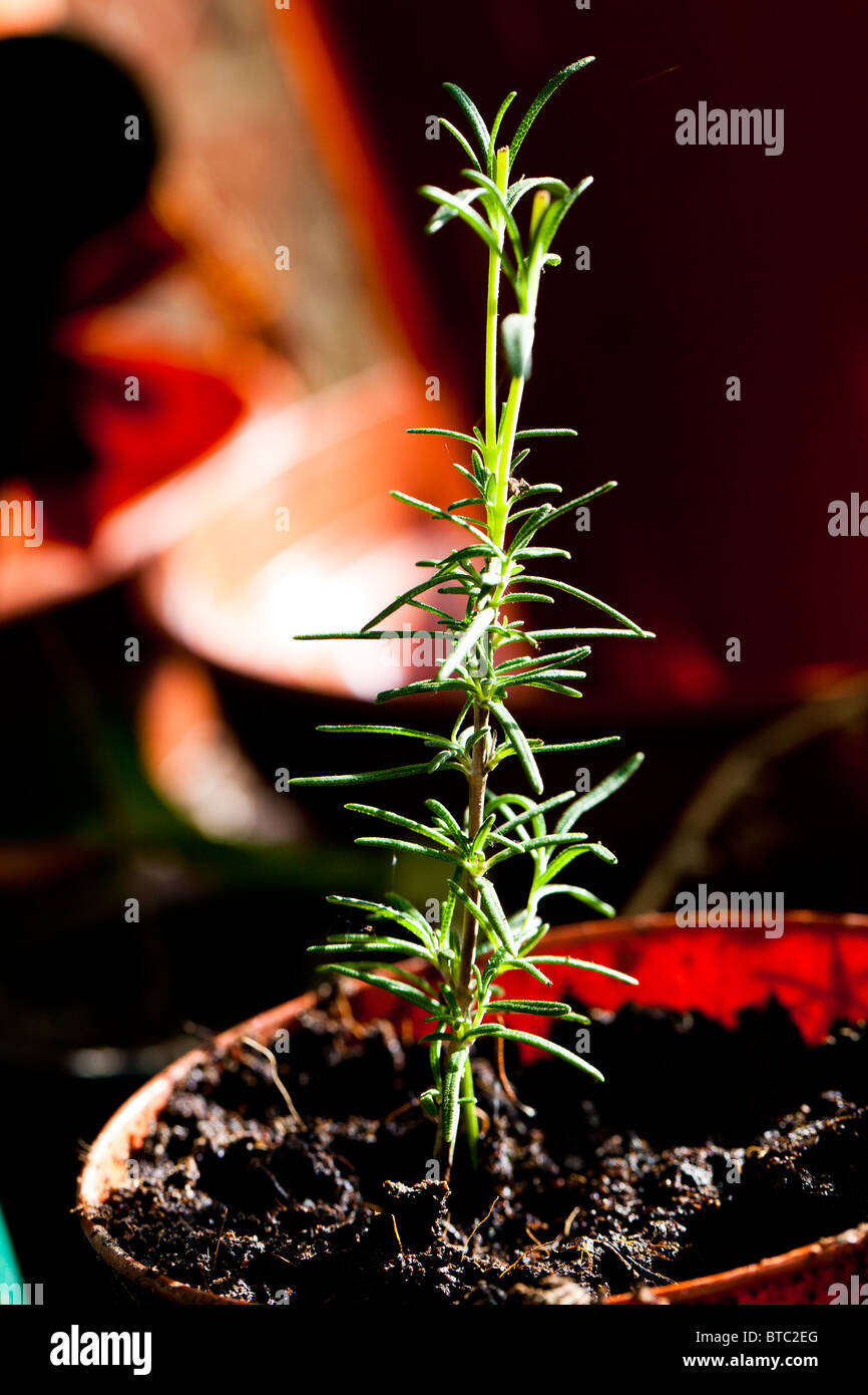 Rosemary cutting seedling in plant pot - Stock Image