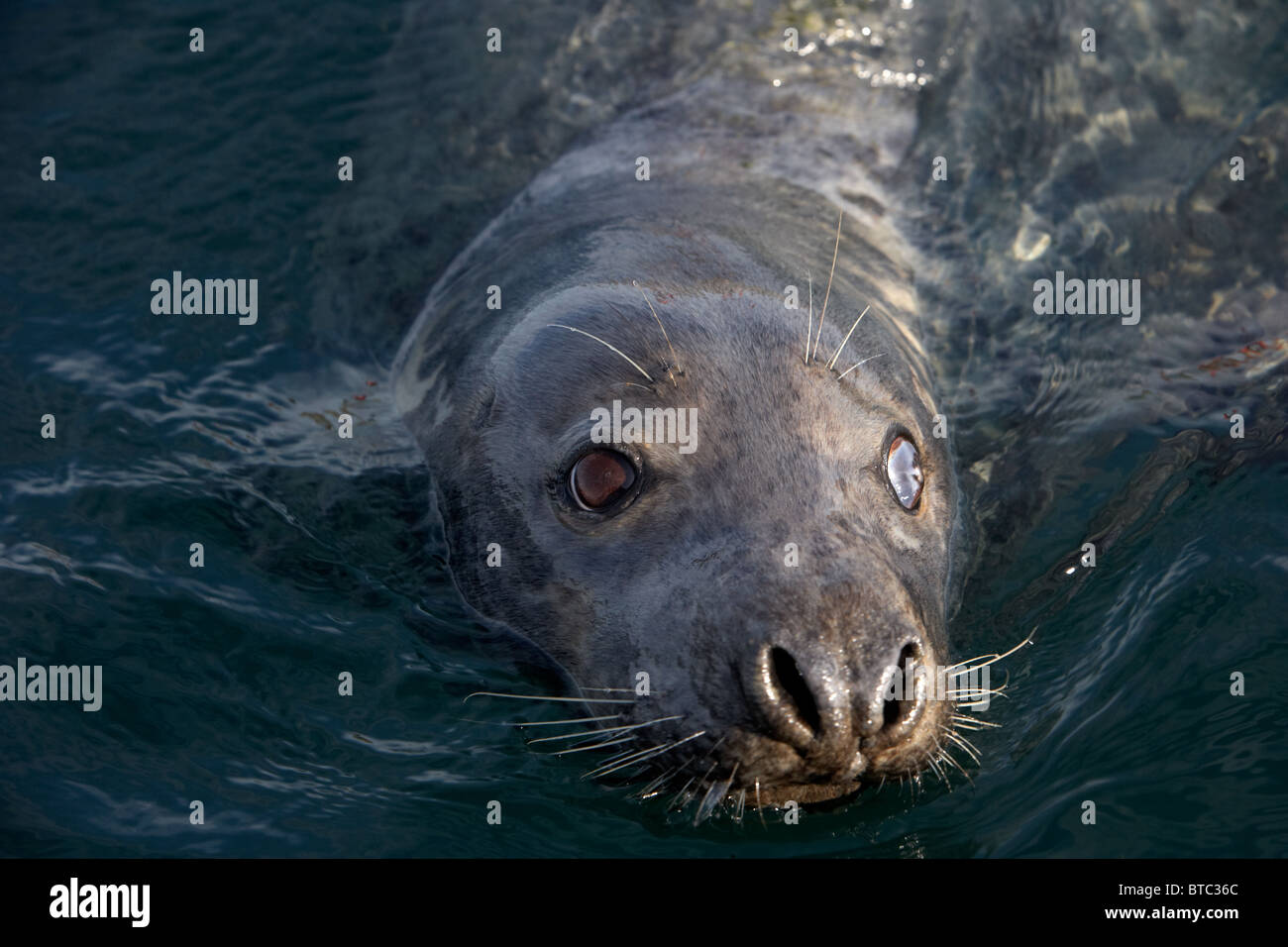 large grey seal Halichoerus grypus with damaged cloudy eye swimming in clear water in northern ireland uk Stock Photo