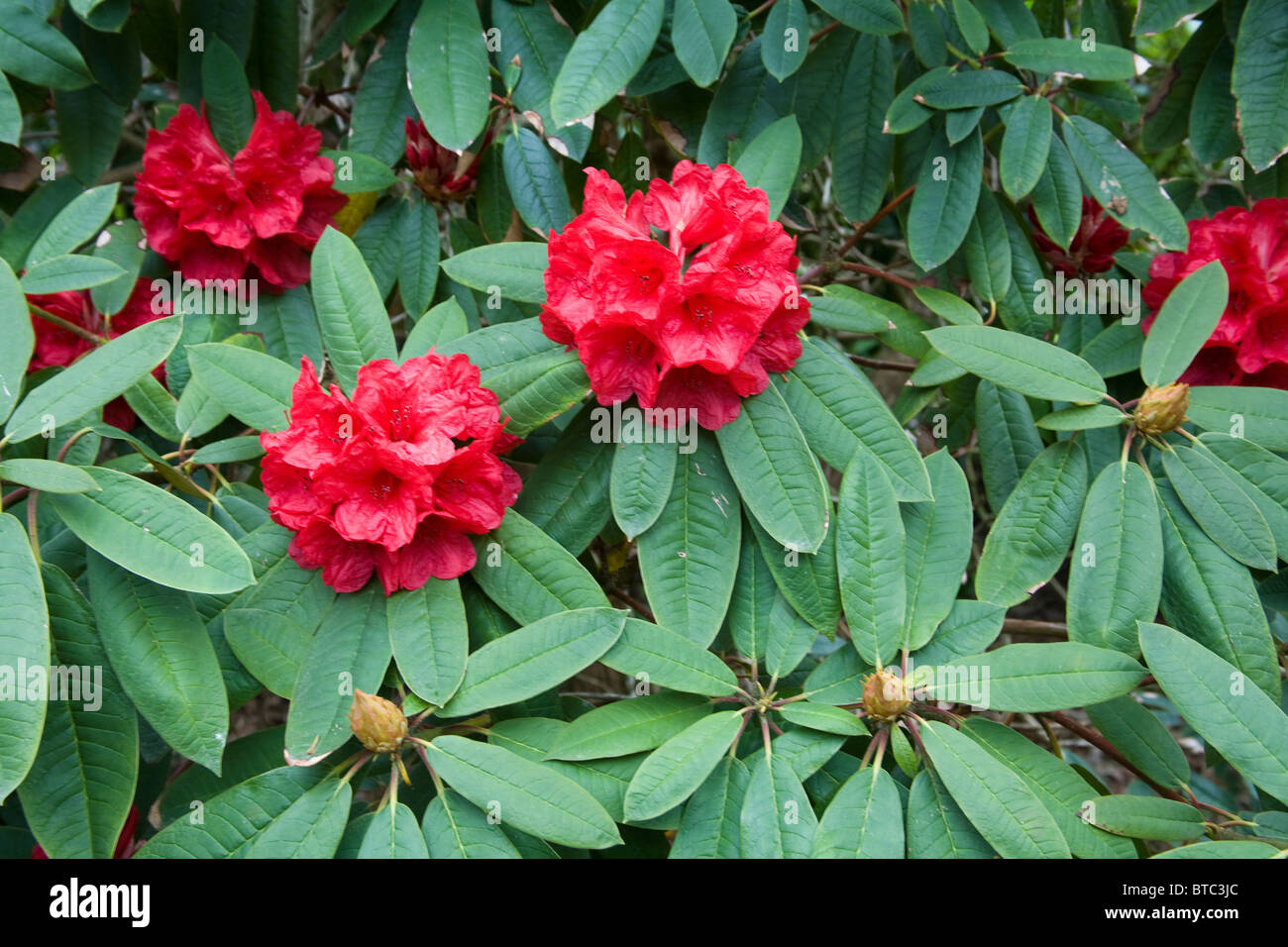 Rhododendron Trelissick Garden United Kingdom - Stock Image