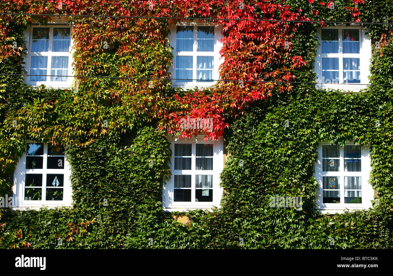 House, facade covered with ivy. Ivy growing up the wall. - Stock Image