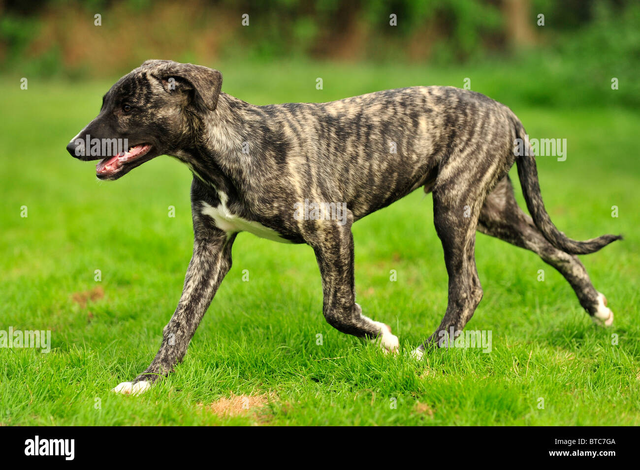 bull lurcher puppy, 14 weeks old, trotting - Stock Image