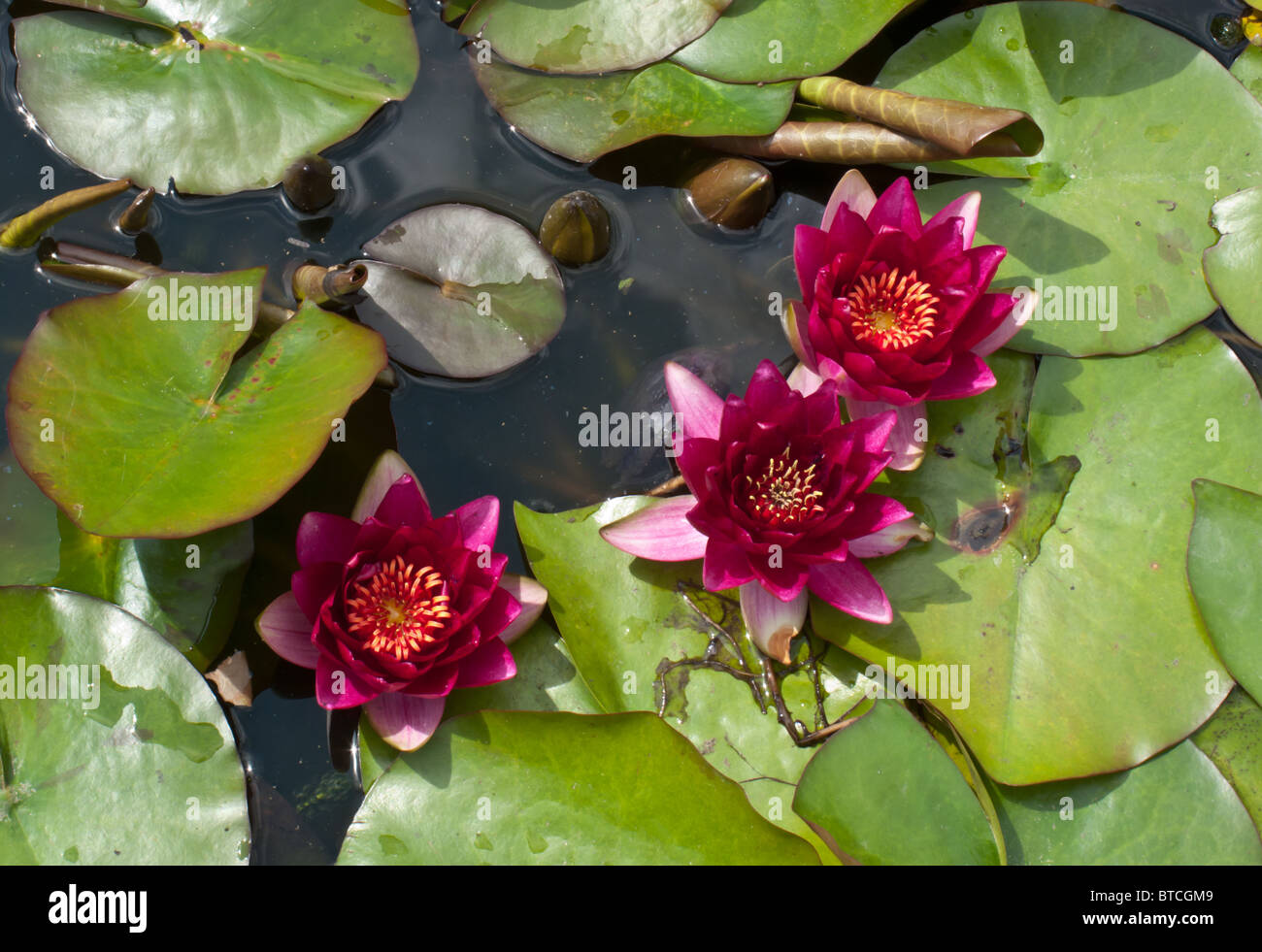 Lily Pads And Flowers On A Pond Stock Photo 32238649 Alamy