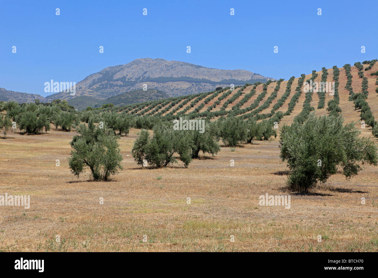 Olives groves in Andalusia, Spain - Stock Image