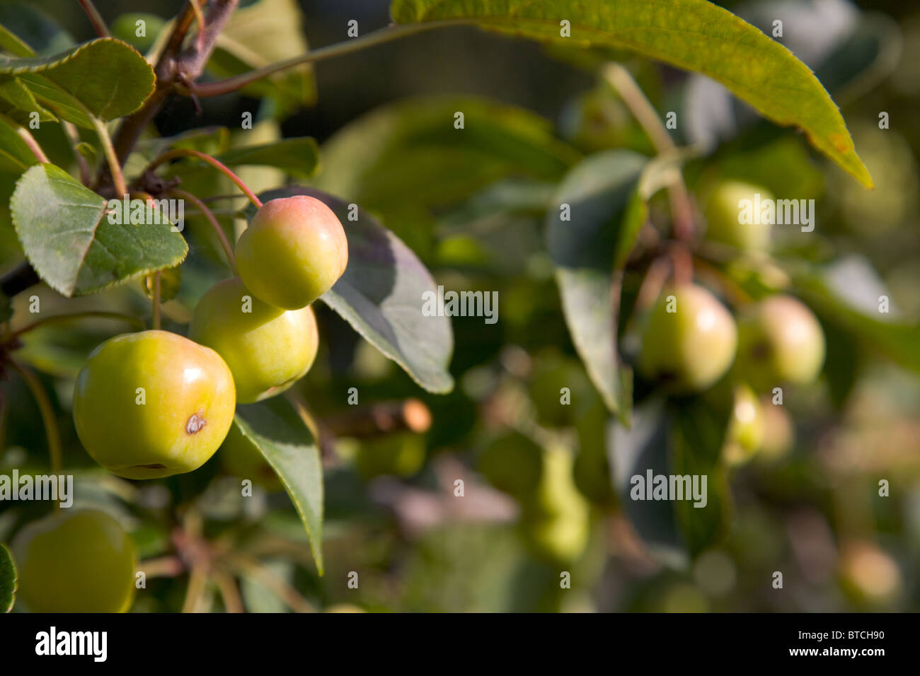 Apples in an English orchard - Stock Image