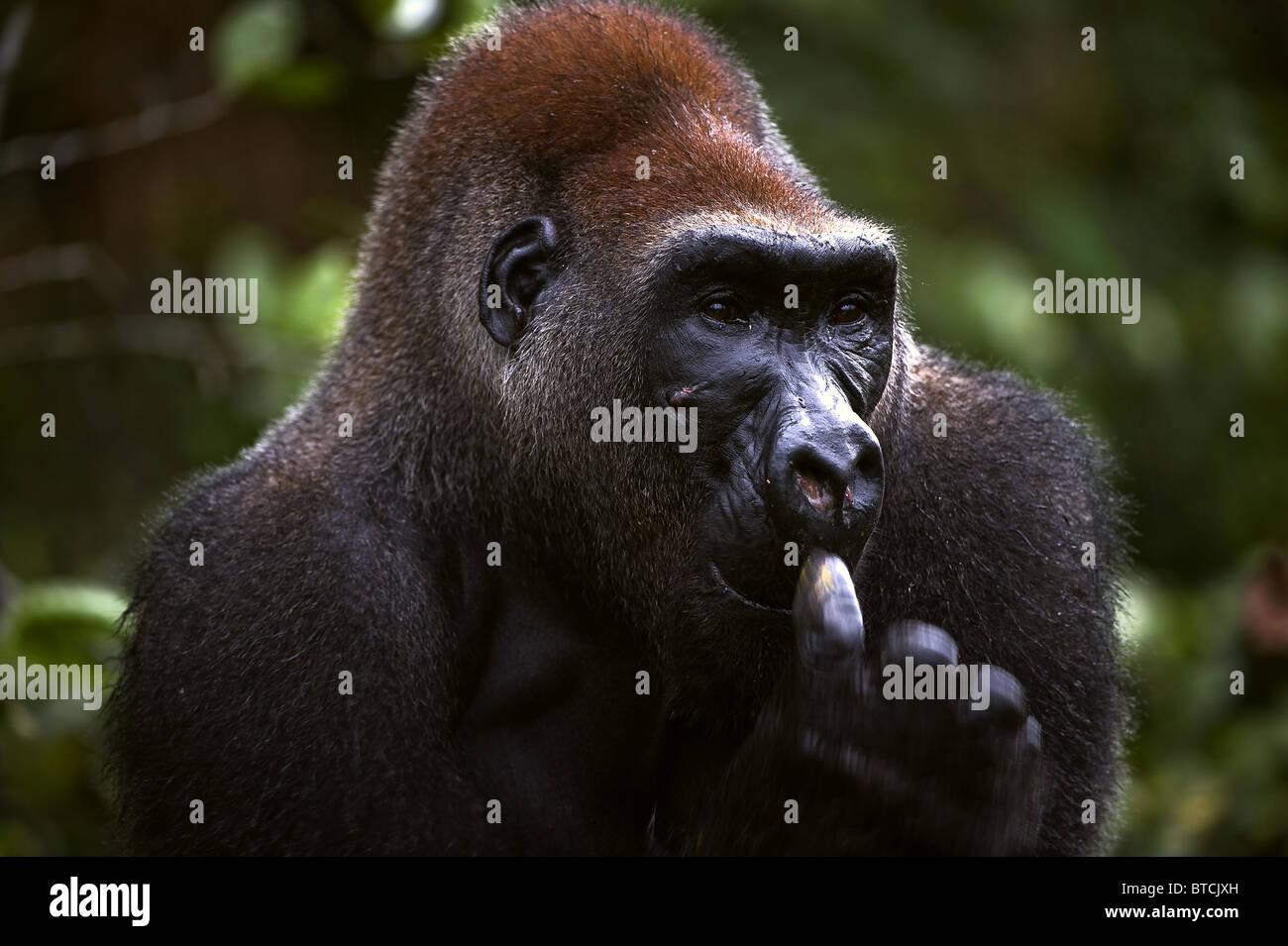 The male of a gorilla picks in a nose. A native habitat - Stock Image