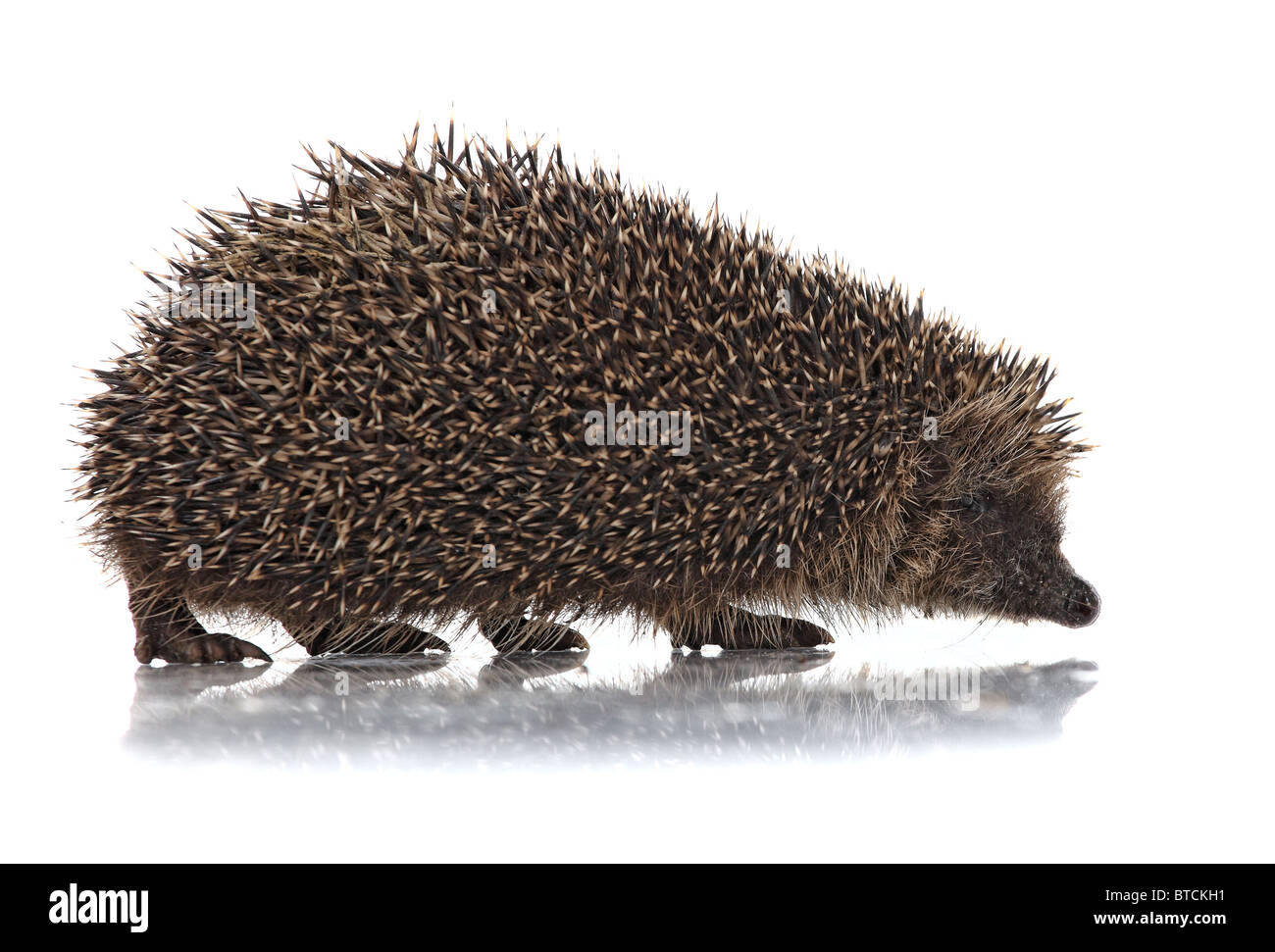 closeup of hedgehog on white background - Stock Image