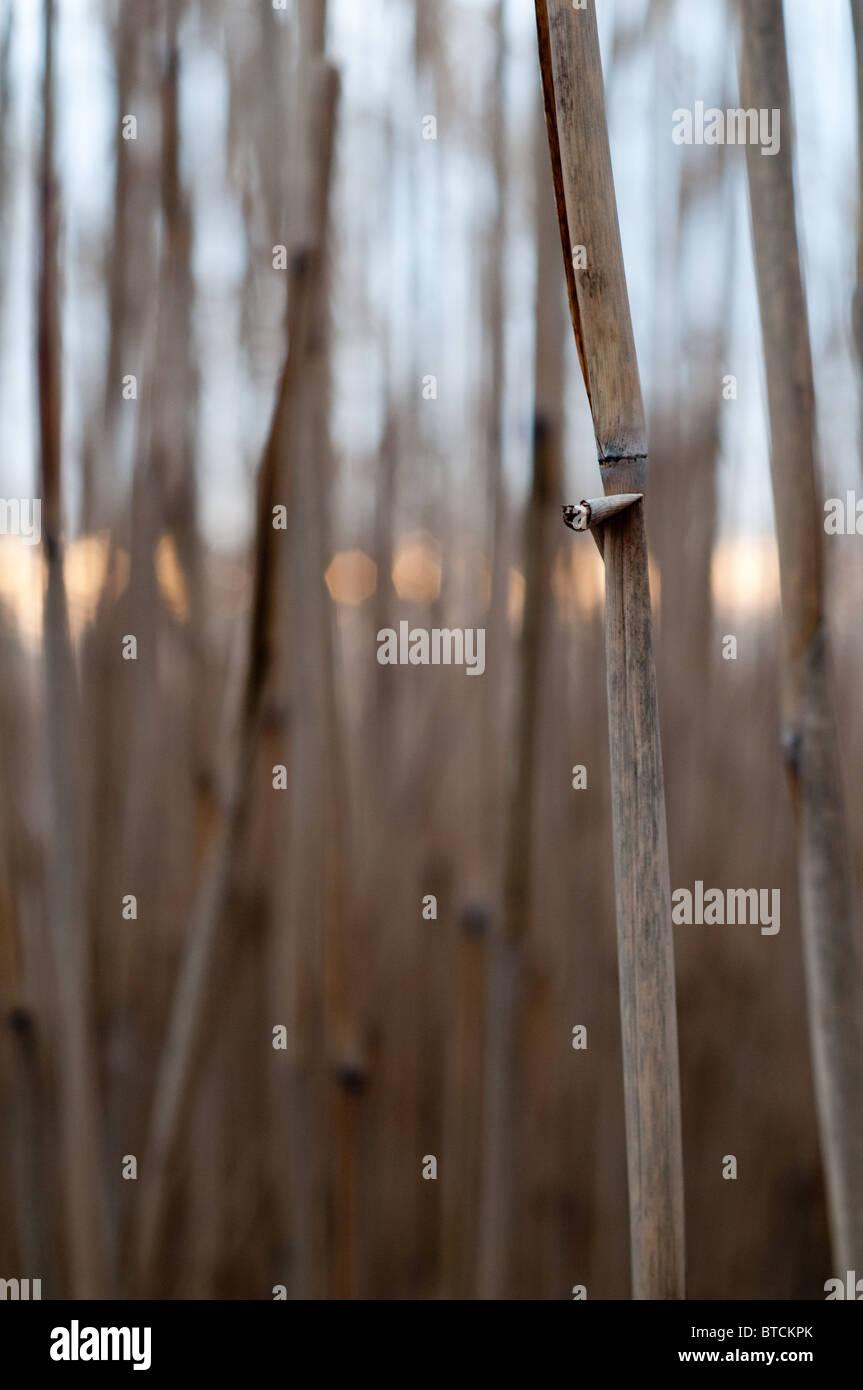 Miscanthus 'elephant grass' biomass energy crop - Stock Image