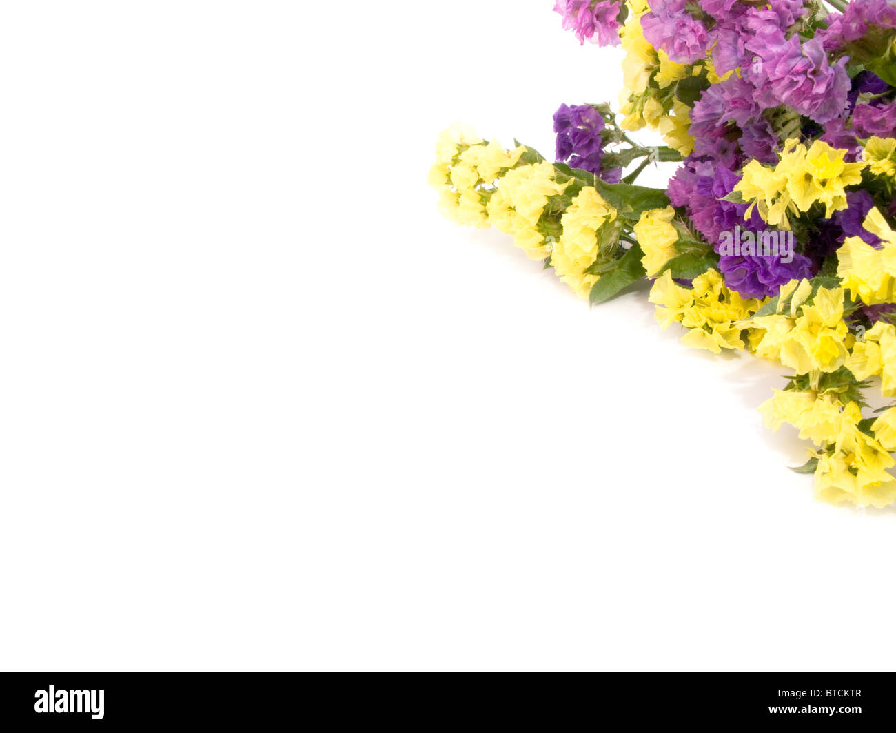 Statice flowers border - white empty space - Stock Image