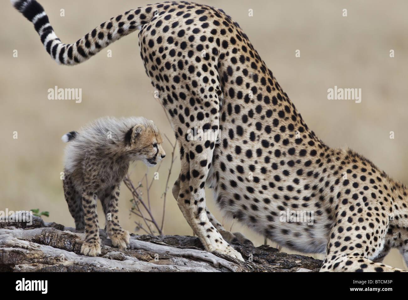 Cheetah female(Acinonyx jubatus) with cub scent marking. - Stock Image