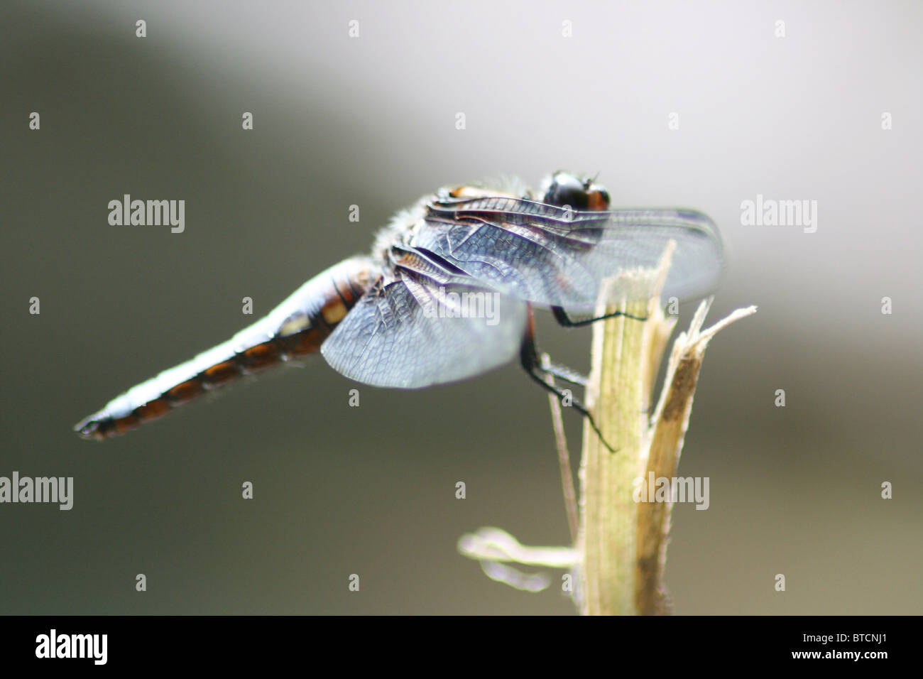 Libelle sitzend  Dragonfly sitting - Stock Image