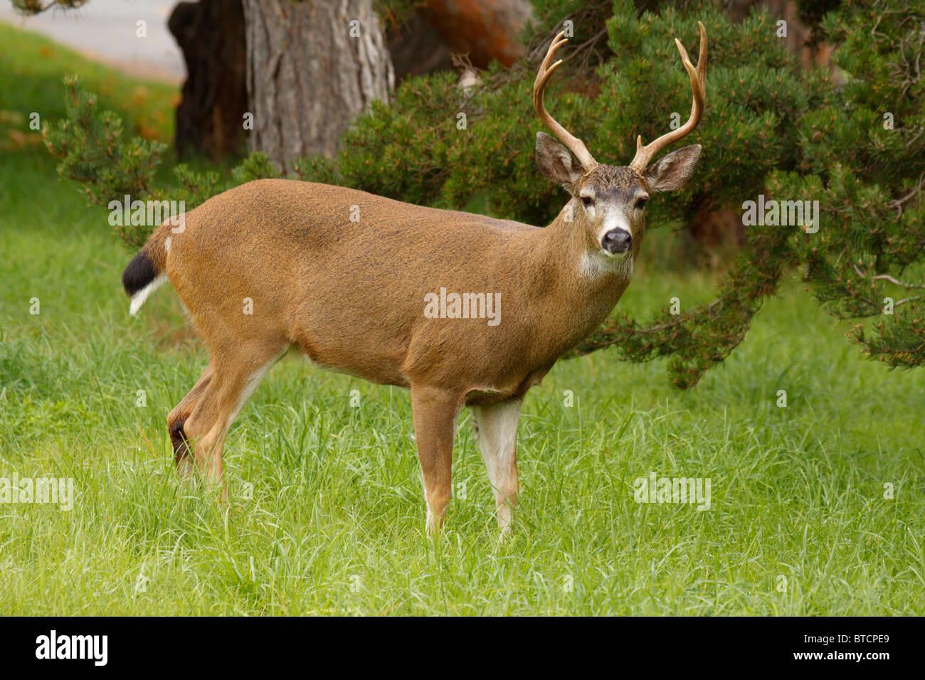 Blacktail deer buck in urban park-Victoria, British Columbia, Canada. - Stock Image