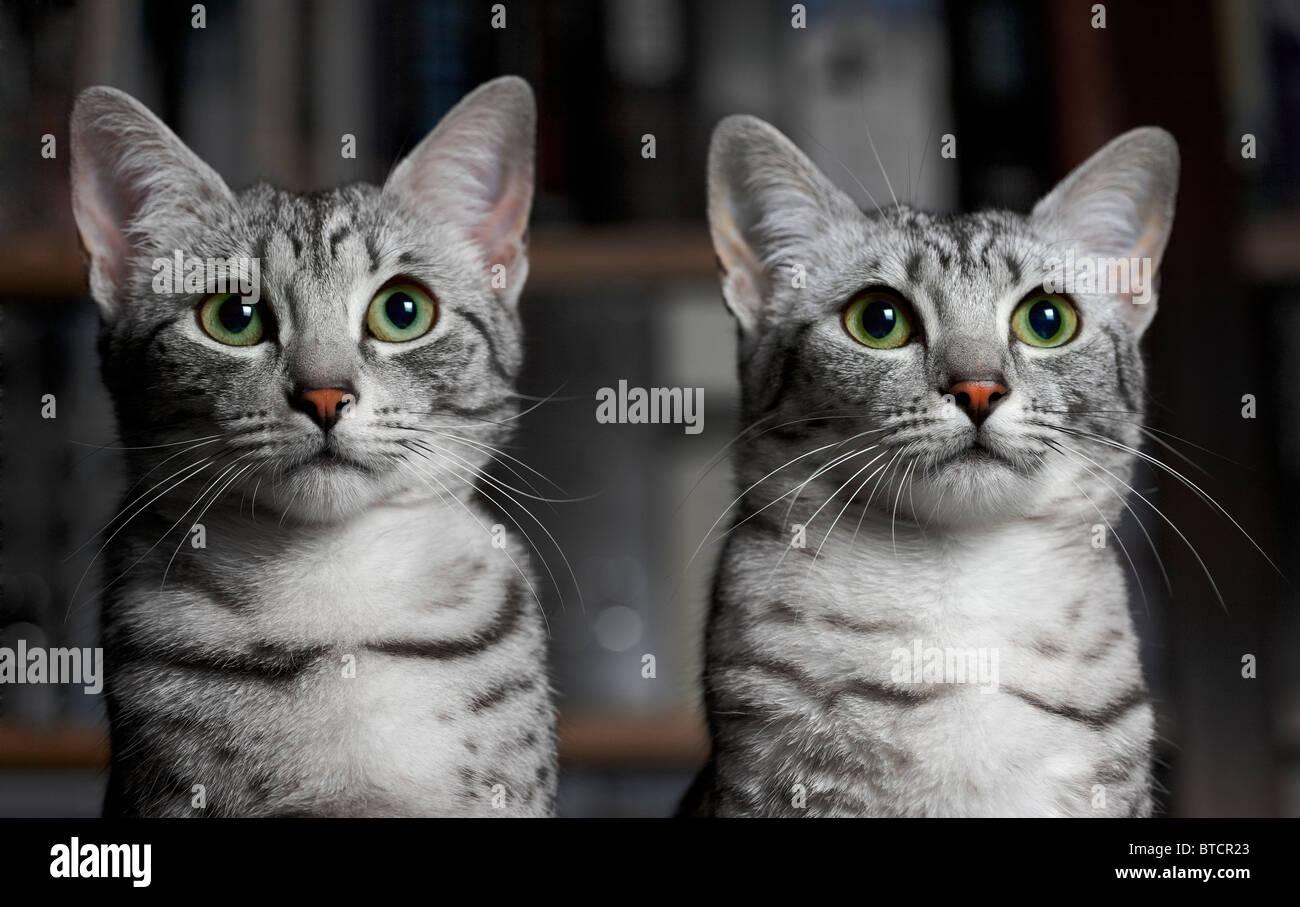 Egyptian Mau kittens - Stock Image