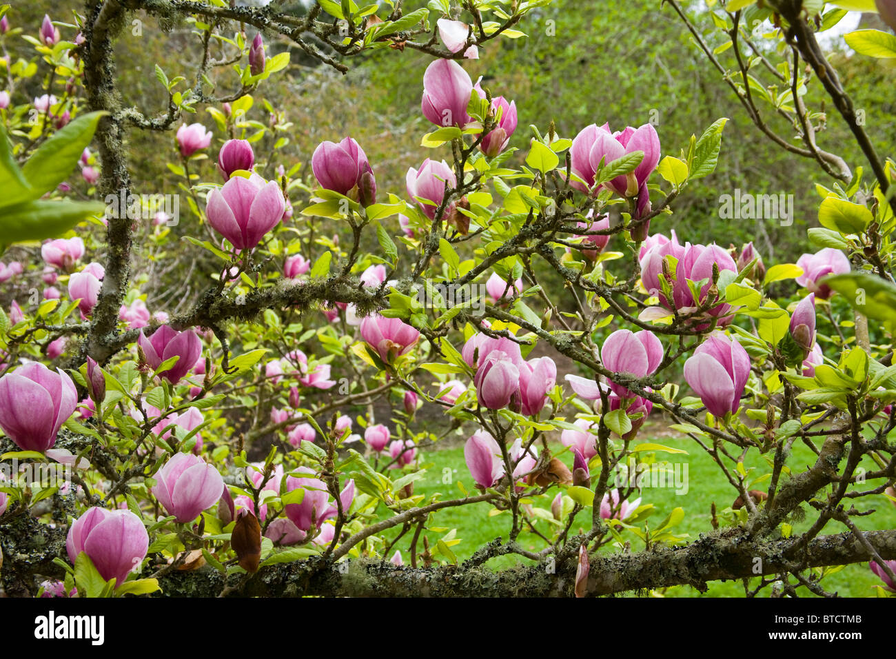 Magnolia x soulangeana Tree Trelissick Garden United Kingdom Stock Photo