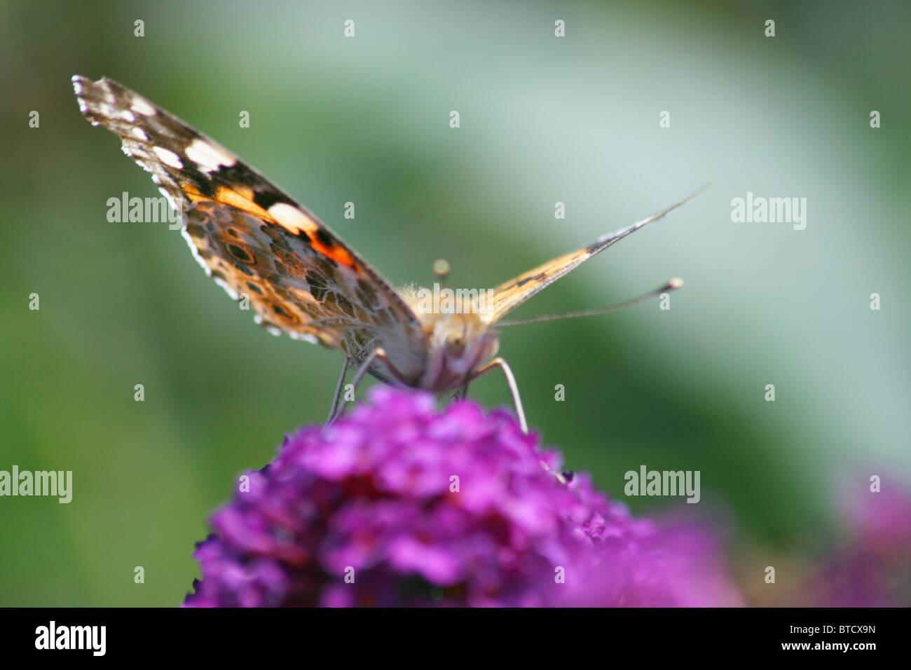 Schmetterling  Butterfly - Stock Image