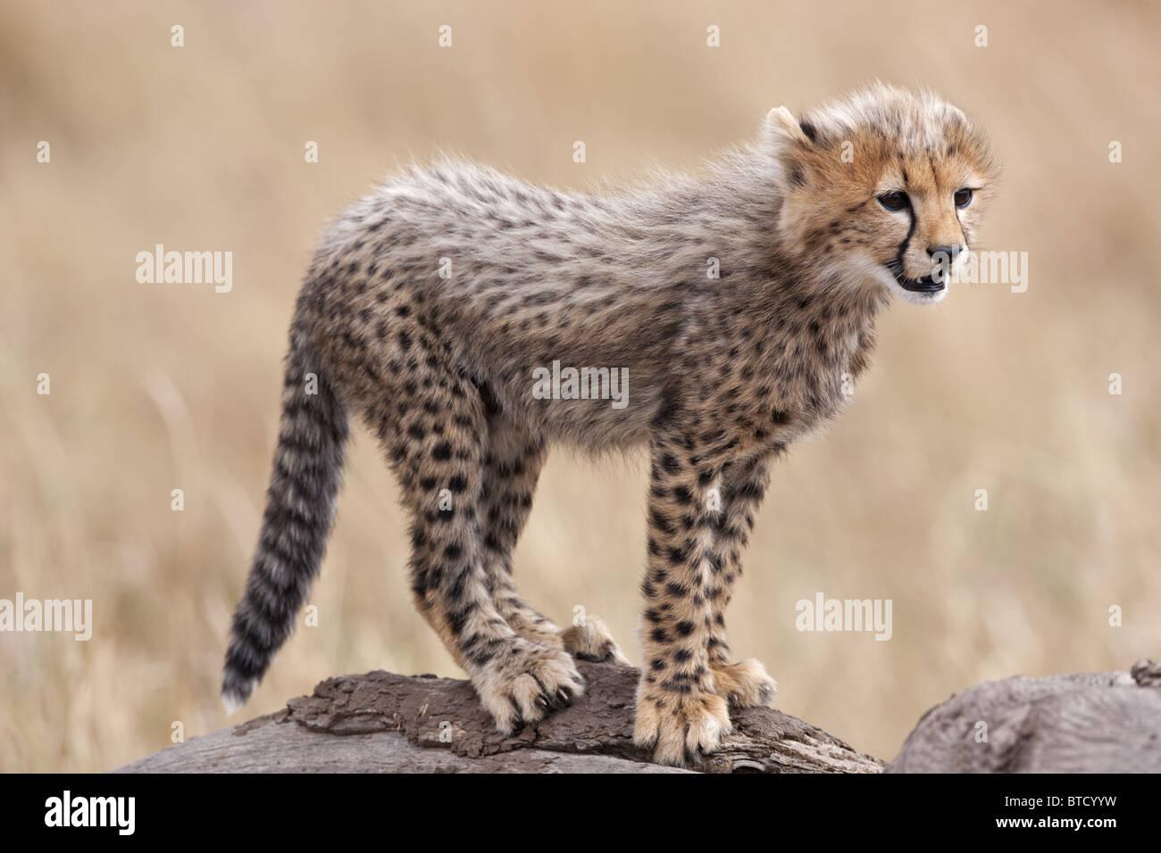Cheetah (Acinonyx jubatus) Cub. Masai Mara National Reserve. Kenya - Stock Image
