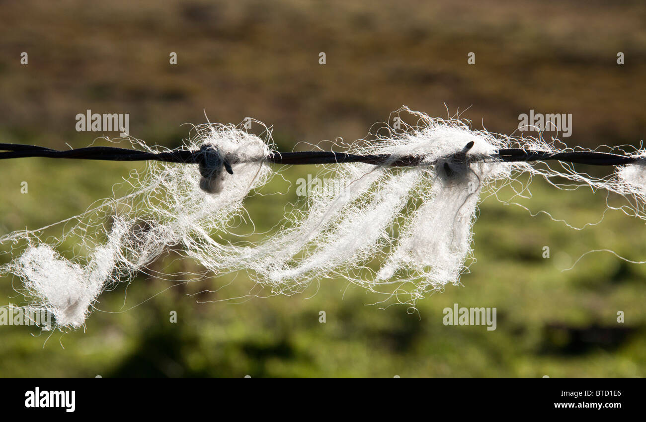 Sheep's wool caught on barbed wire fence. - Stock Image