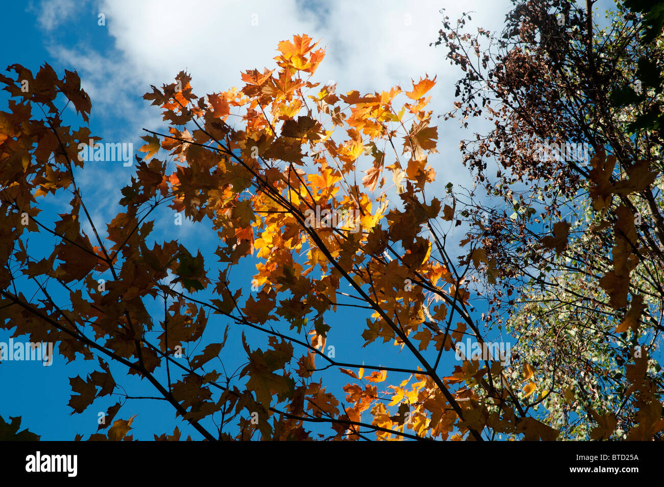 changing autumn leaves against bright blue sky with highlighted yellow leaves from the sun - Stock Image