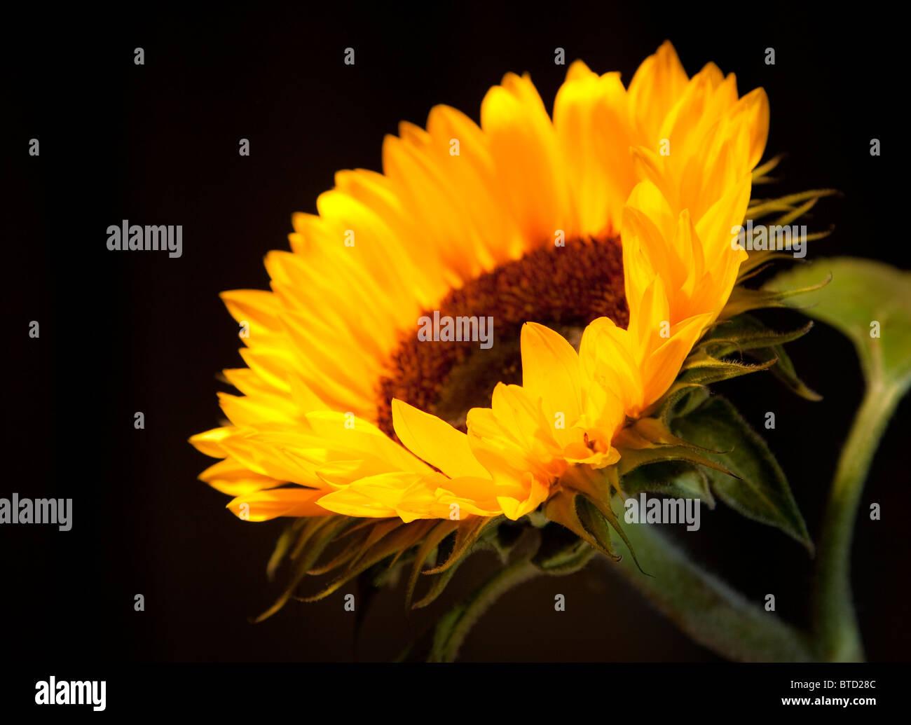 Sunflower against black background - Stock Image