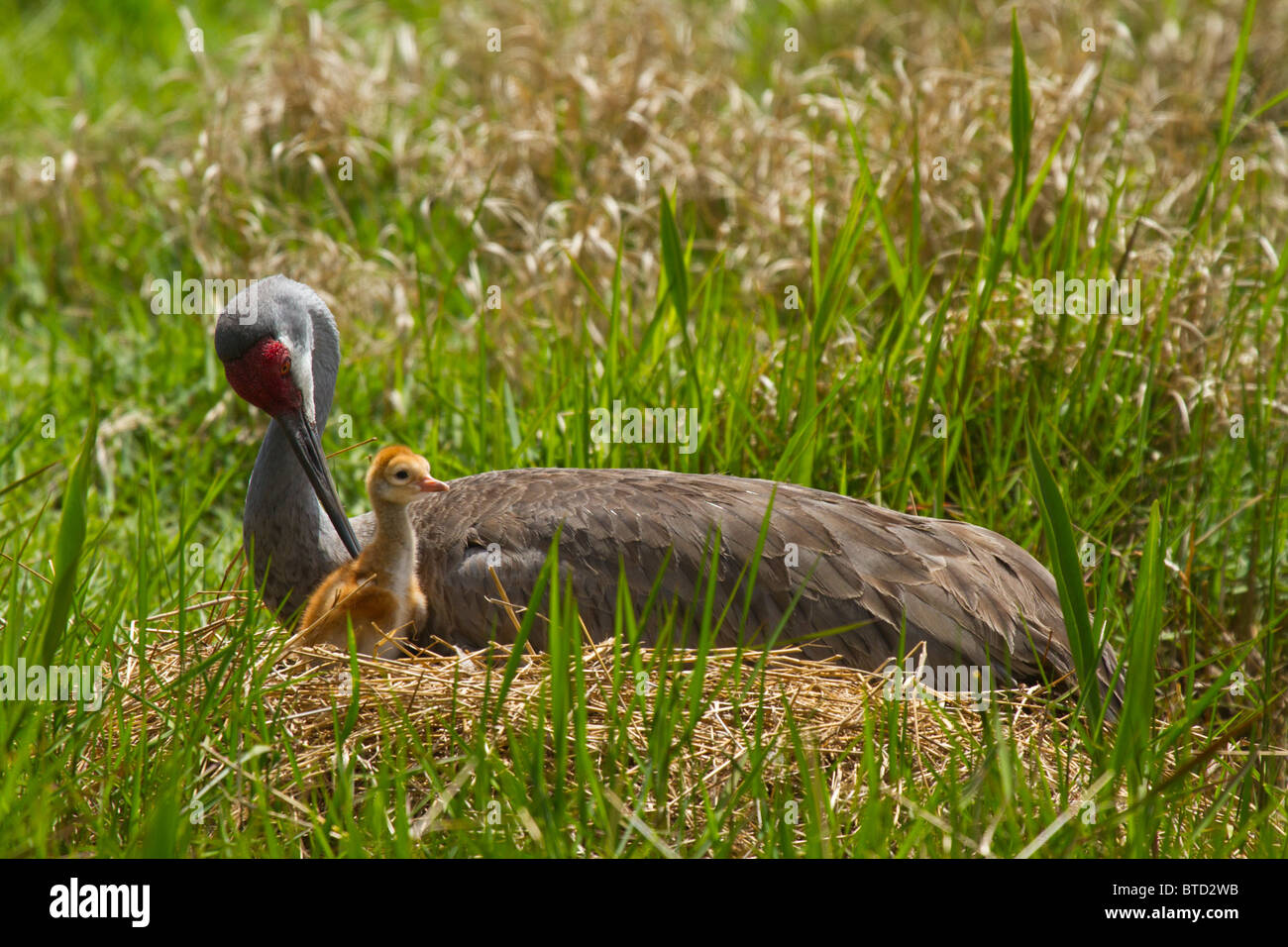 Sandhill crane on a nest with a hatchling in Florida - Stock Image