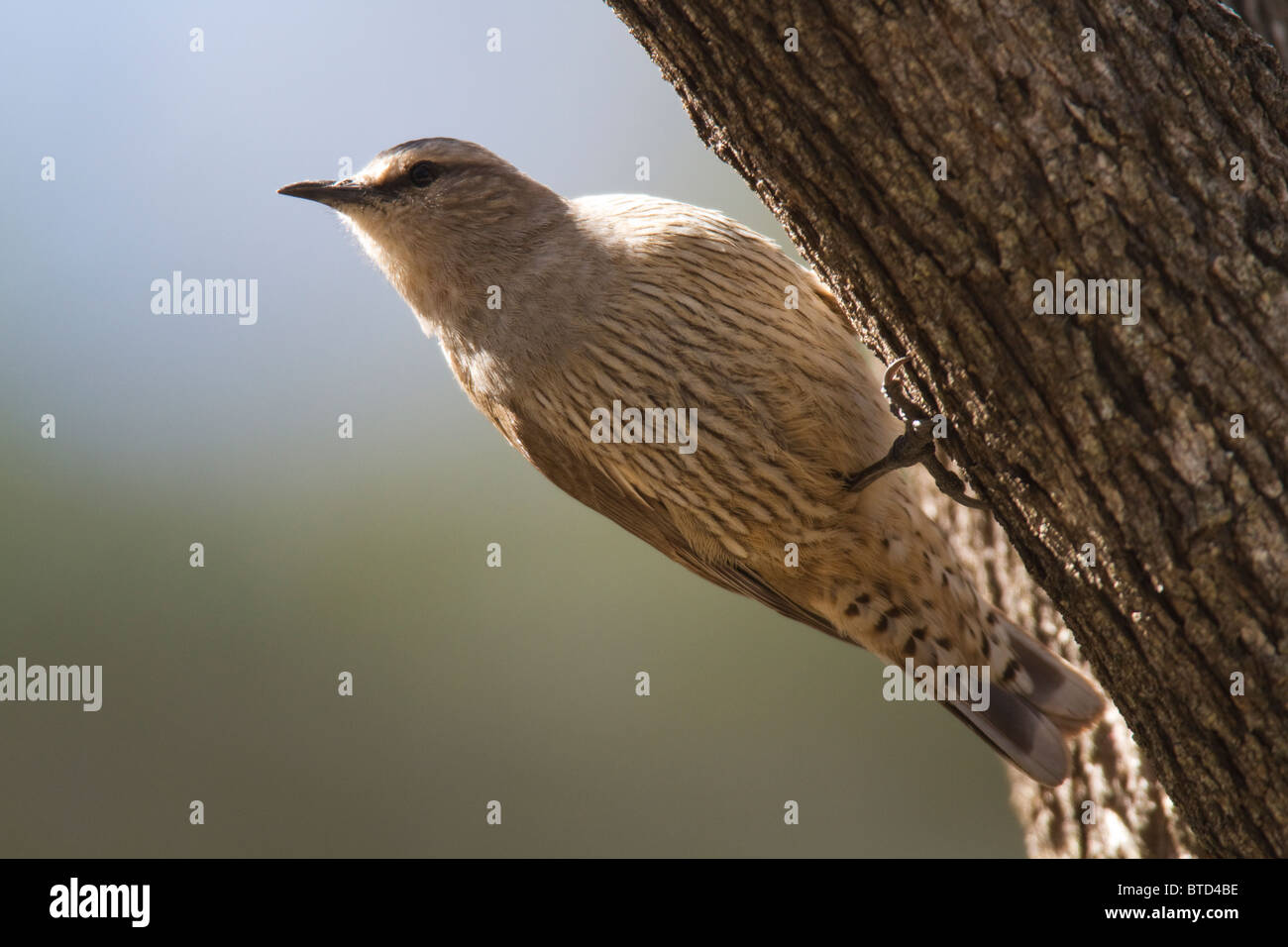 Brown Treecreeper (Climacteris picumnus) clinging to tree trunk - Stock Image