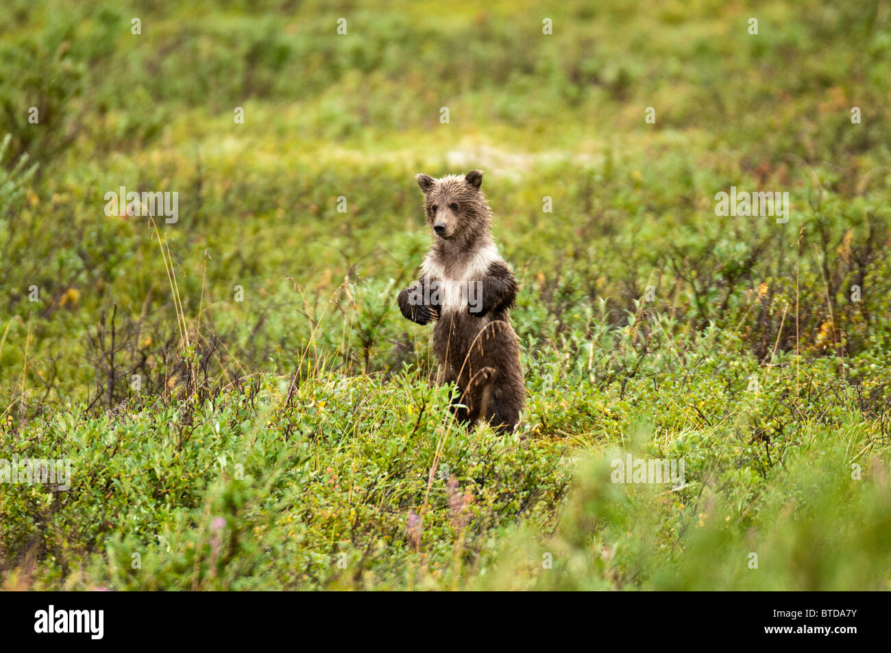 Young brown bear cub stands to search of its mother in Sable Pass, Denali National Park and Preserve, Interior Alaska, - Stock Image