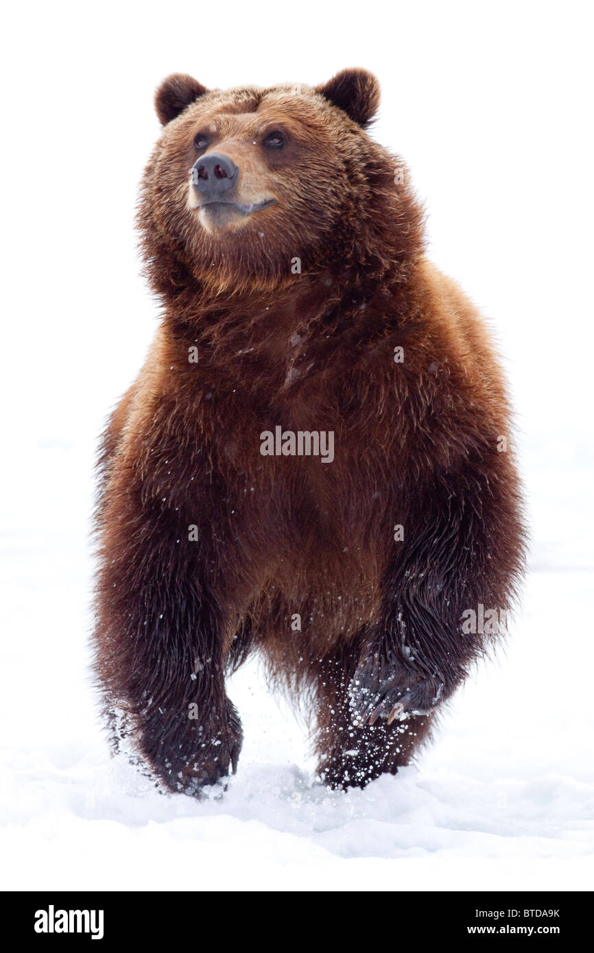 An adult Brown bear runs through fresh snow at the Alaska Wildlife Conservation Center, Portage, Alaska, Winter, - Stock Image