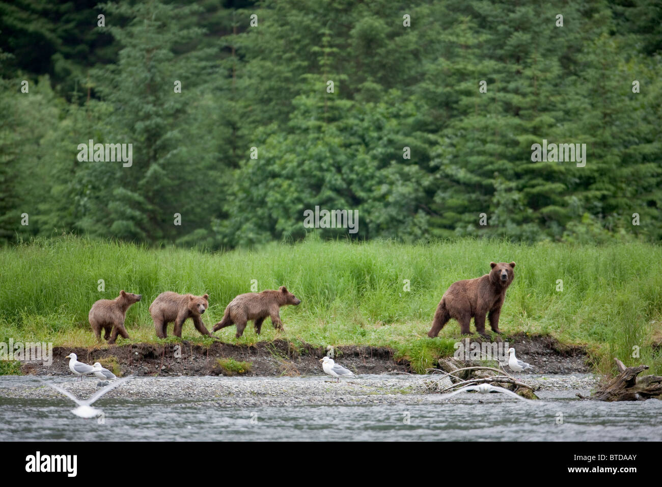 Brown bear sow walks along a stream with three cubs, Prince William Sound, Chugach Mountains, Chugach National Forest, - Stock Image