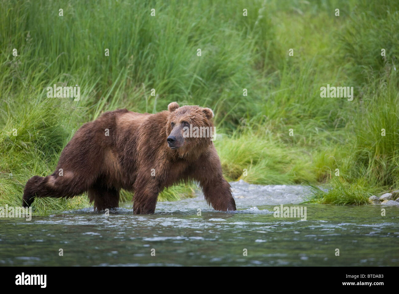 Brown Bear wades through a stream near Prince William Sound, Chugach Mountains, Chugach National Forest, Alaska - Stock Image
