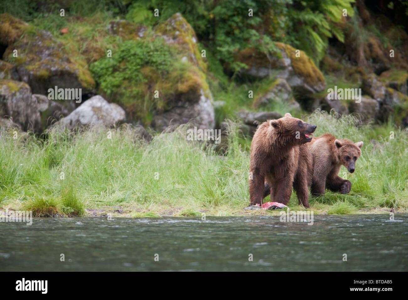 Brown bear sow with older cub eating salmon on a stream bank near Prince William Sound, Chugach National Forest, - Stock Image