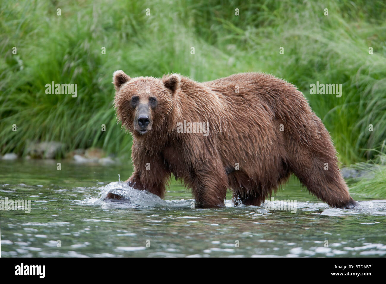 Brown bear fishing for salmon in a stream near Prince William Sound, Chugach Mountains, Chugach National Forest, - Stock Image