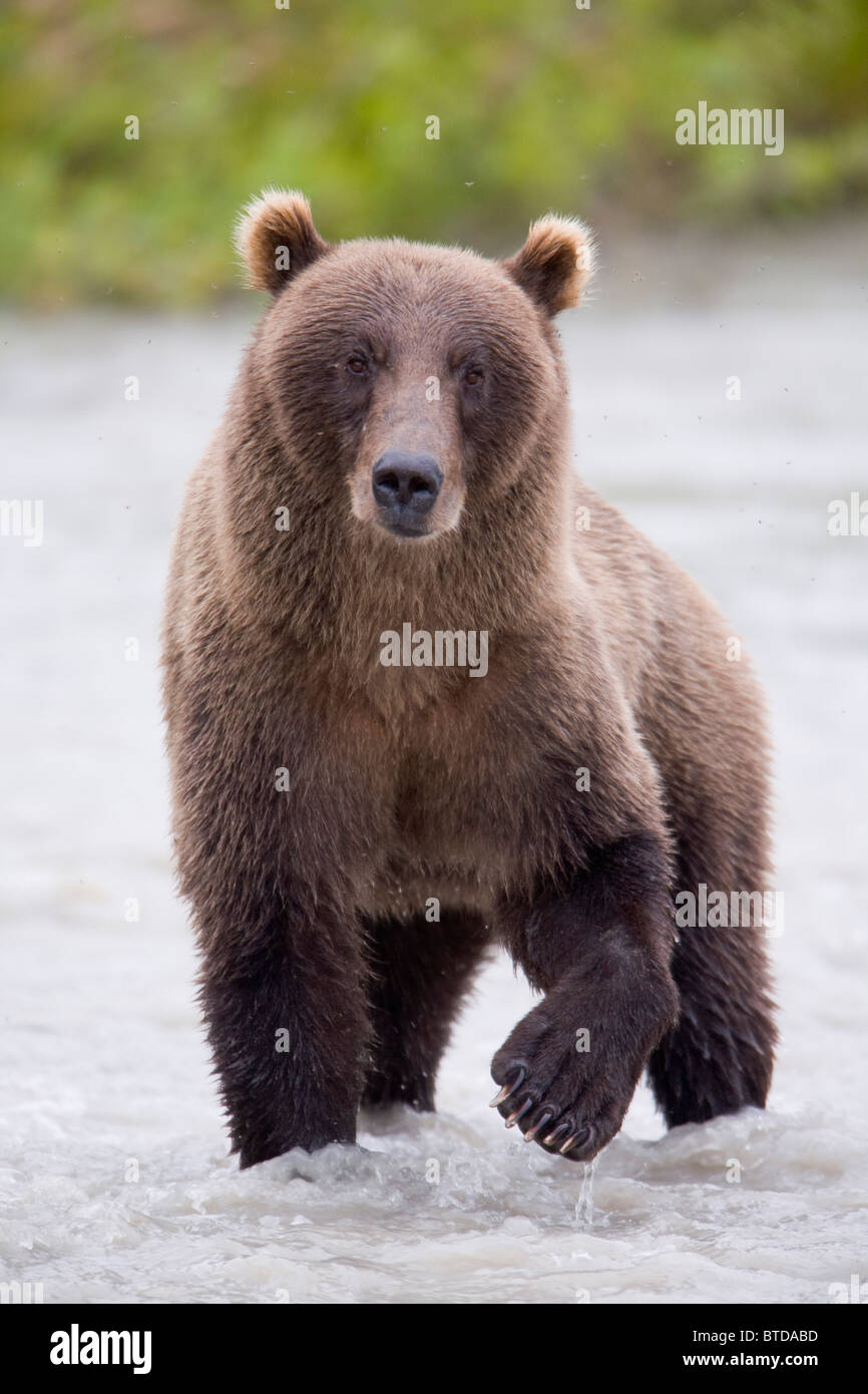 Brown bear standing in Copper River during Summer, Chugach National Forest, Southcentral Alaska - Stock Image