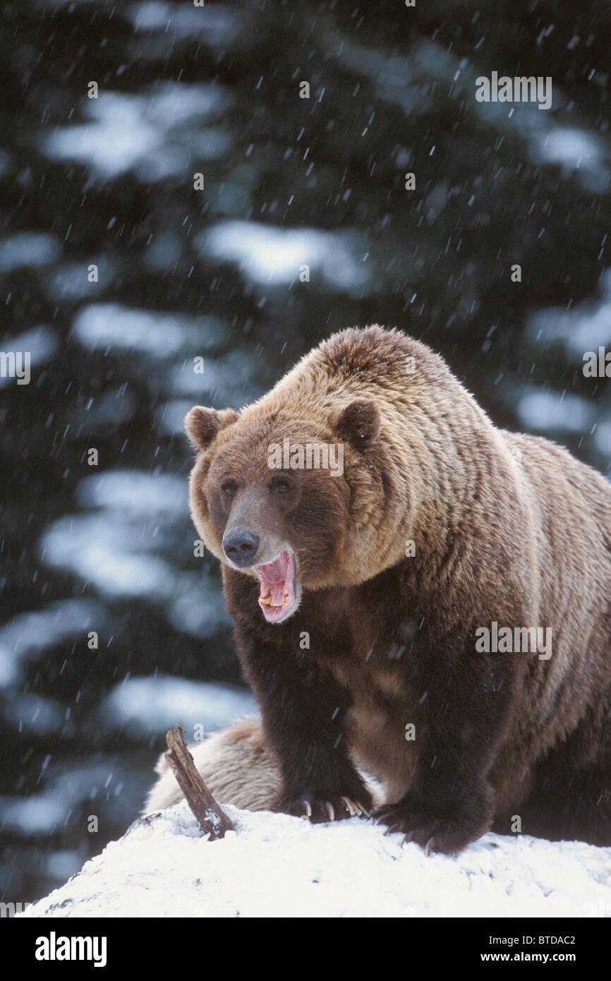 Brown bear standing in snow and yawning, Yakutat, Southeast Alaska, Winter - Stock Image