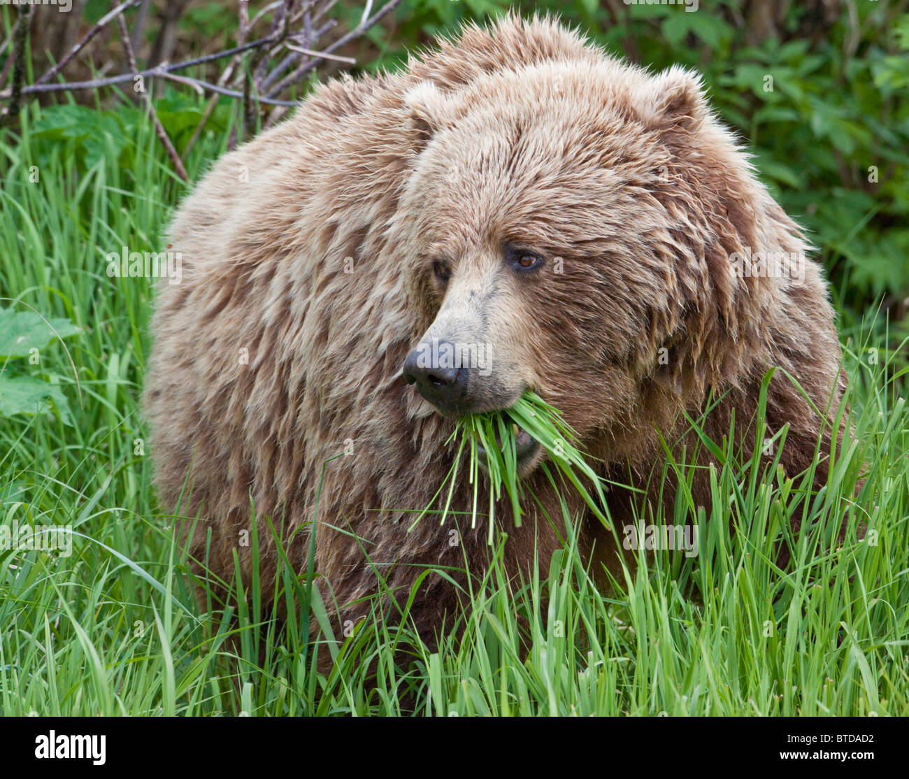A female Brown Bear feeds on sedge grasses near the shore of Geographic Harbor, Katmai National Park, Southwest - Stock Image