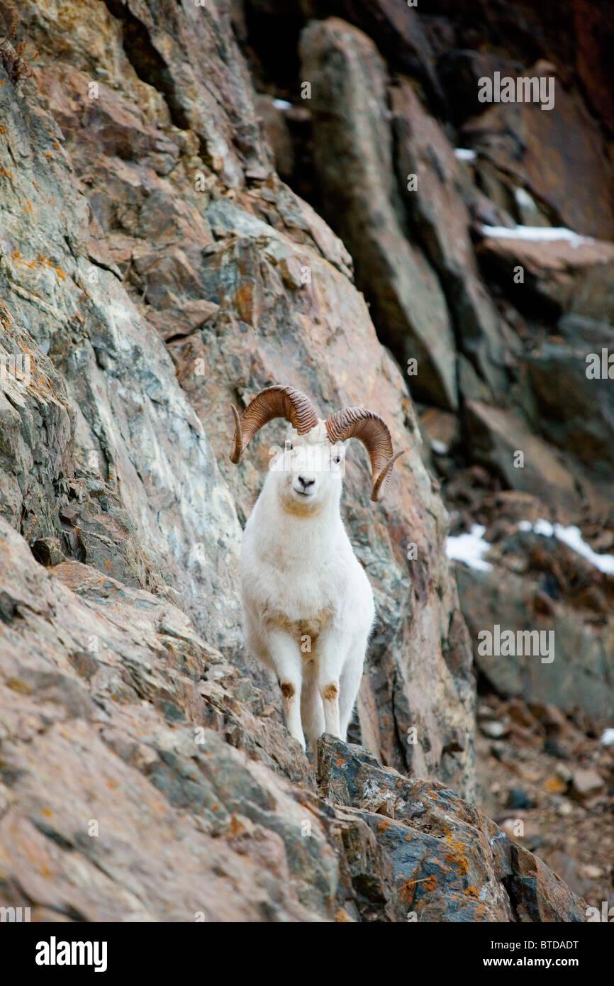 A curious full-curled Dall Sheep ram perches on a rocky ledge, Chugach State Park, Alaska - Stock Image