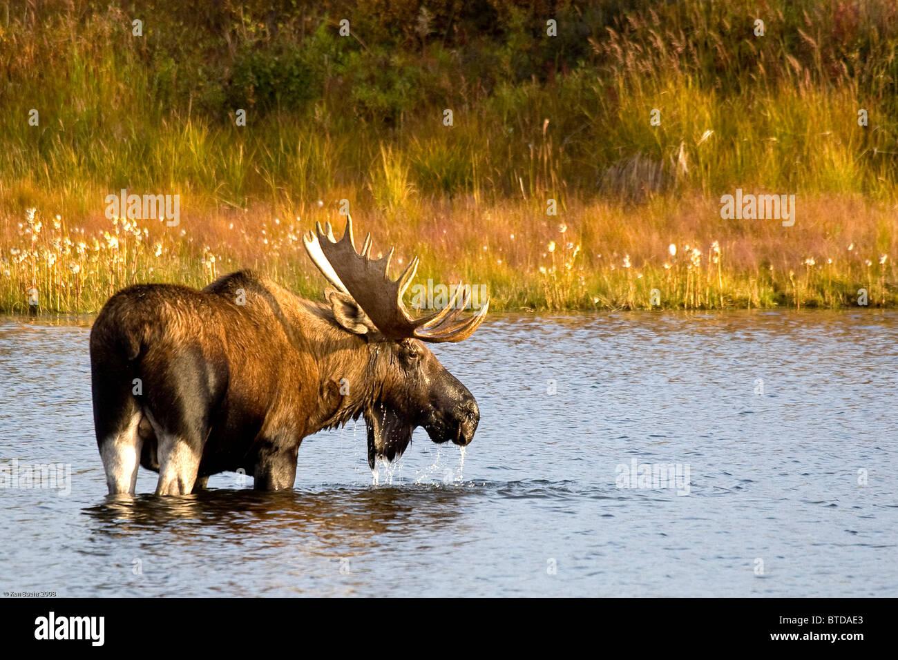 A large bull moose wades through a permafrost pond in Denali National Park near Wonder Lake, Interior Alaska, Fall - Stock Image
