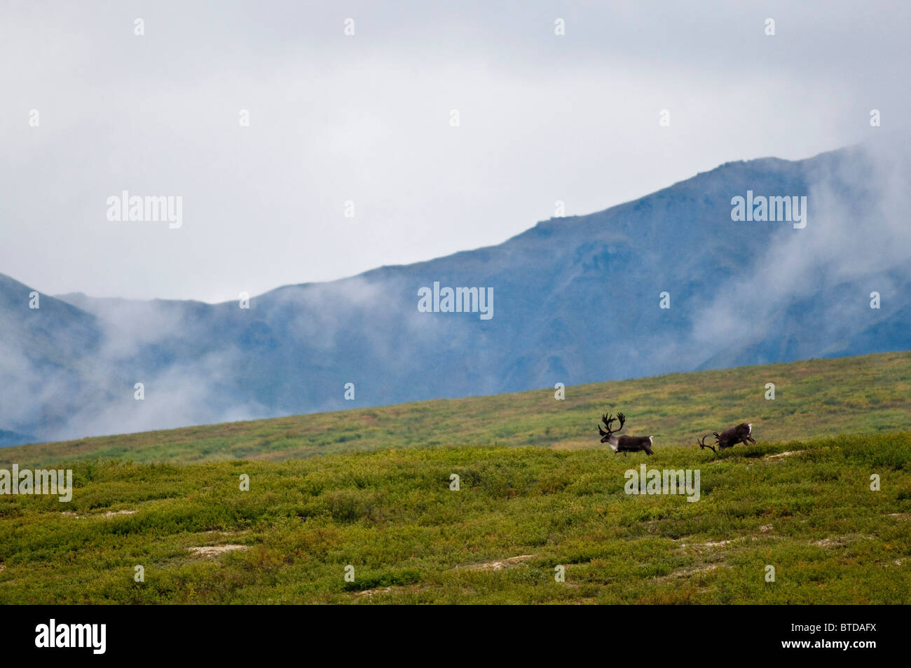 A pair of bull caribou wander the open landscape near Savage River in Denali National Park and Preserve, Alaska, - Stock Image