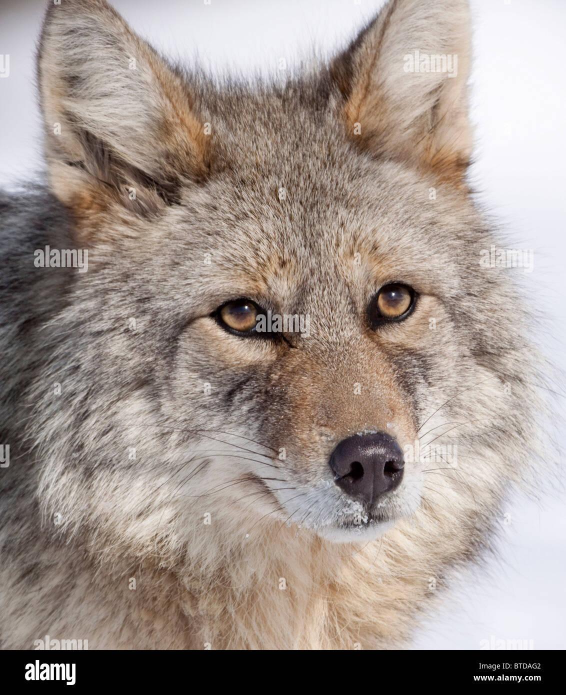 Portrait of a wild Coyote near the Alaska Wildlife Conservation Center, Southcentral Alaska, Winter - Stock Image