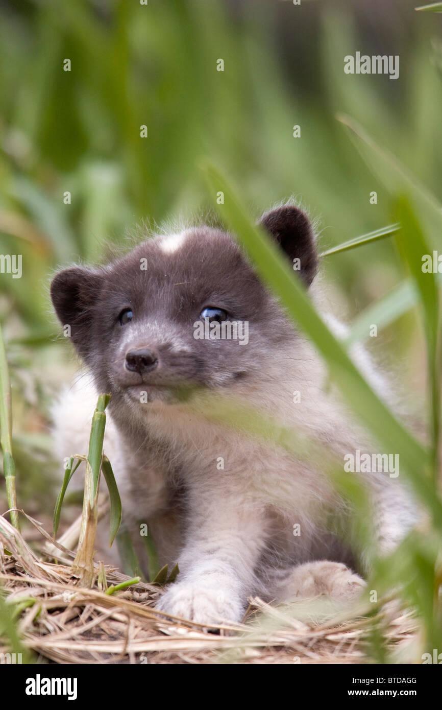 Close up of an Arctic Fox pup peering through grass, Saint Paul Island, Pribilof Islands, Bering Sea, Alaska, Summer Stock Photo